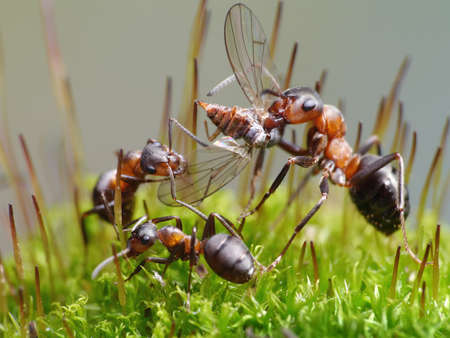 ants formica rufa eat fly photo