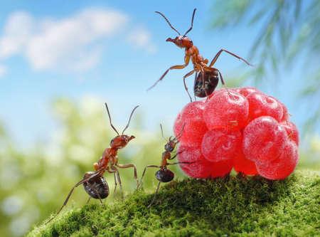 hormiga: dulces no son saludables para los ni�os! cuentos de hormigas, hormigas y frambuesa Foto de archivo