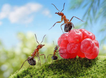 sweets are unhealthy for children!  ant tales, ants and raspberry photo