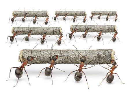 hormiga: equipos de hormigas llevan registros, el concepto de trabajo en equipo