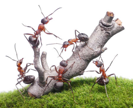Ameisen bringen verwitterten Baum, isoliert Teamwork auf weißem Hintergrund Lizenzfreie Bilder