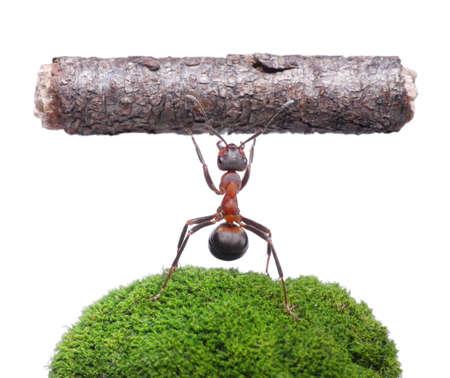 Arbeiter Ameise Formica rufa holding schweren log, isoliert auf weißem Hintergrund