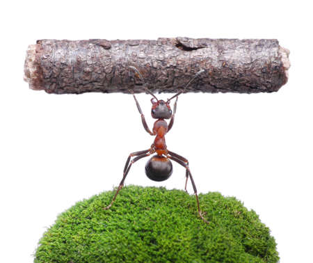 worker ant formica rufa holding heavy log, isolated on white background