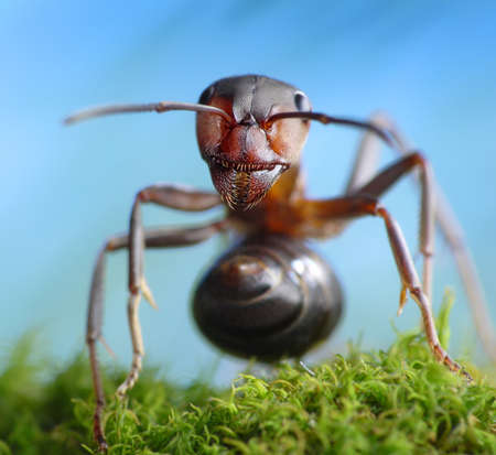 forest robber formica rufa, ant tales