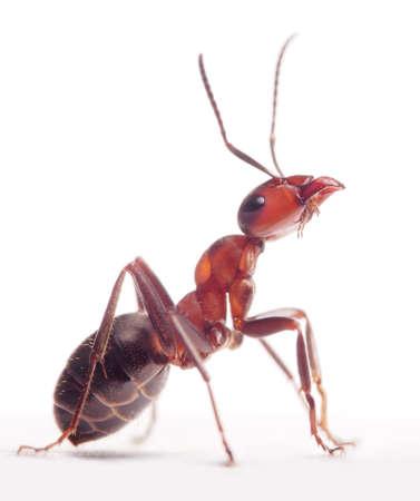 homme détouré: fier fourmi Formica rufa