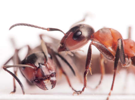 ants formica rufa conflict      photo