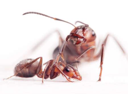 obedecer: dominantes mayores obligan hormigas jóvenes a obedecer