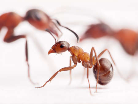 rufa: little ant formica rufa and big ones at background      Stock Photo
