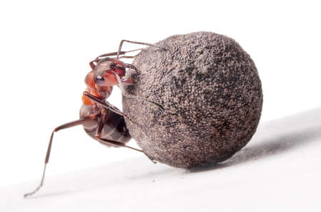 ant fights with heavy stone     photo