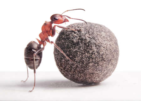 red ant: ant rolls heavy stone