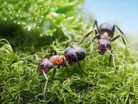 two red ants formica rufa on go