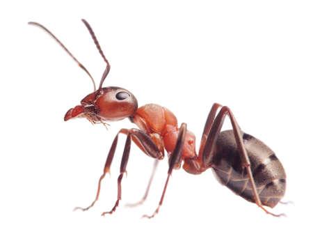 red ant: hormiga roja Formica rufa en el fondo blanco