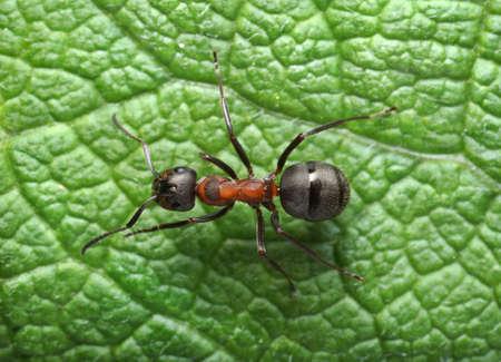 running ant formica rufa Standard-Bild