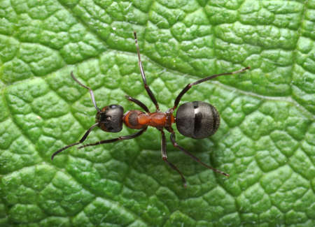 running ant formica rufa      photo