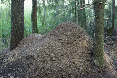 anthill of red forest ants formica rufa Standard-Bild