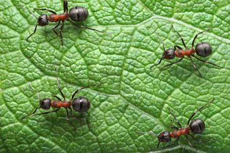 ants formica rufa on go photo