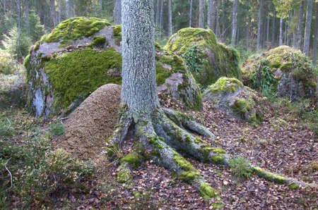 anthill at tree foot in forest with stones Standard-Bild