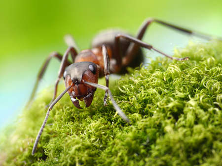 red ant formica rufa