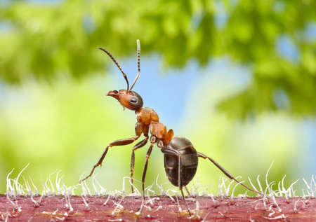 red ant walk in forest