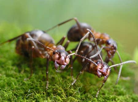 three red ants formica rufa Stok Fotoğraf - 37480398