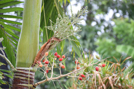 betel: colour betel nut,betel palm Stock Photo