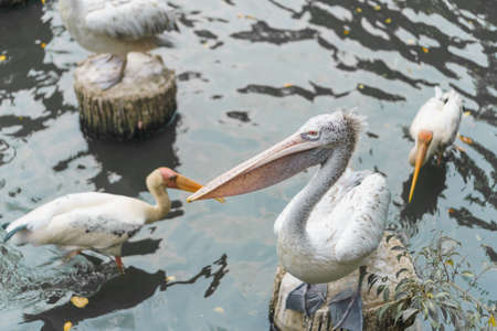 Selective focus of pelican birds  waiting for food in pond at birds zoo.