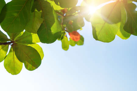 Green leaf with blue sky background and sunlight. 免版税图像