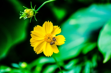 Nature insect bee on the yellow Cosmos flower photo