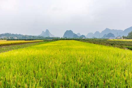 Rice field autumn scenery Imagens