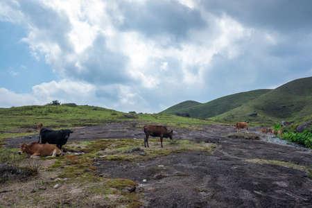 Yellow cattle in Jilongding Forest Park, Yangchun, Guangdong, China
