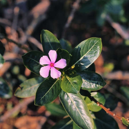 Selective focus of a beautiful blooming rose periwinkle flower