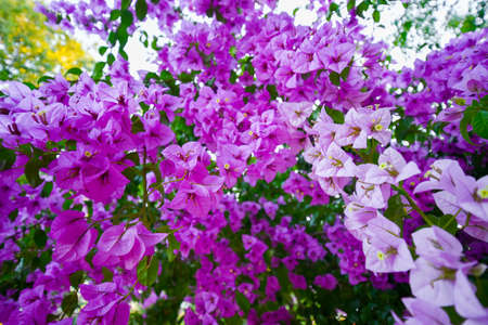 core eudicots: Flowers of pink bougainvillea