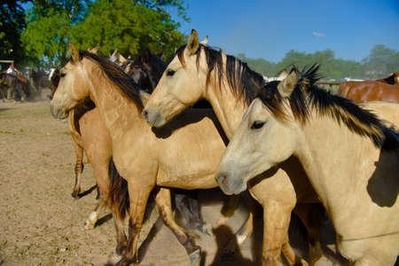 Buckskin horses in a paddock at sunny midday. Stock Photo