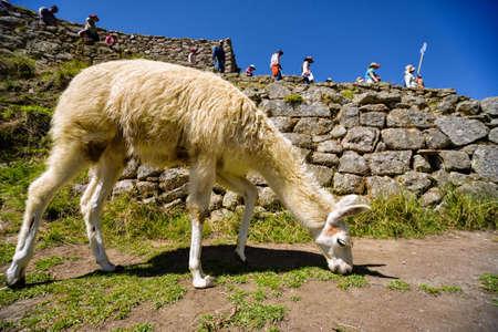 ラマは、マチュピチュ、ペルーの古代都市でをかすめます。