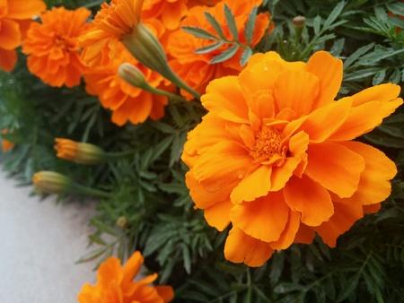 naturaleza: Nice colorful Orange flowers.  Stock Photo