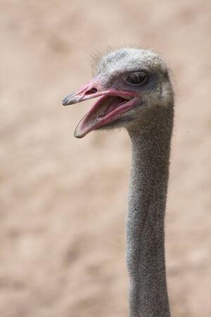 an ostrich: An ostrich head Stock Photo