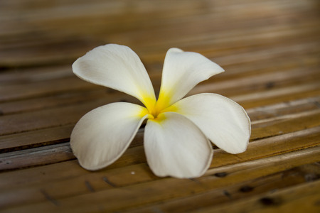 plumeria flower: plumeria flower thailand