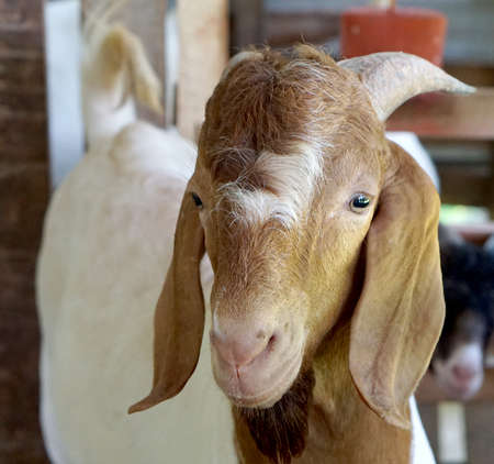boer: face of young Boer Goat