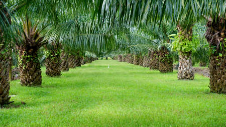 Palm plantation 版權商用圖片 - 81738476
