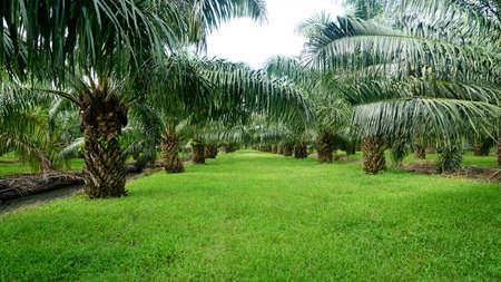 Palmenplantage Standard-Bild - 81761151