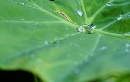 Water drop on Colocasia esculenta