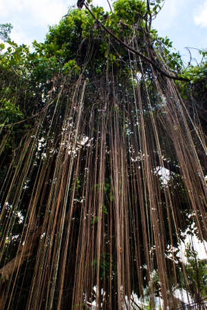 aerial roots: Aerial roots of a banyan