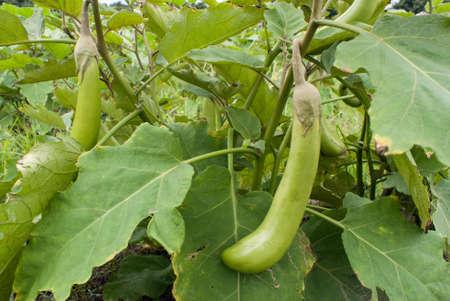 brinjal: Green eggplant on its tree Stock Photo