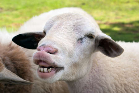 Funny sheep portrait, head and face of sheep