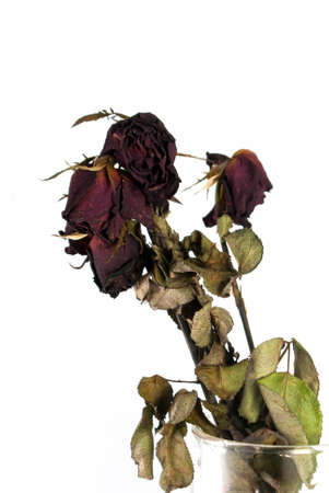 Dried Red roses on a white background. photo