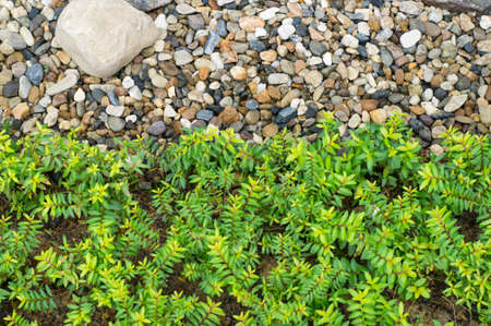 pea shrub: mosses and fine stones in a Japanese garden
