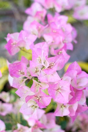 Pink bougainvillea blooms in the garden, soft focus 写真素材