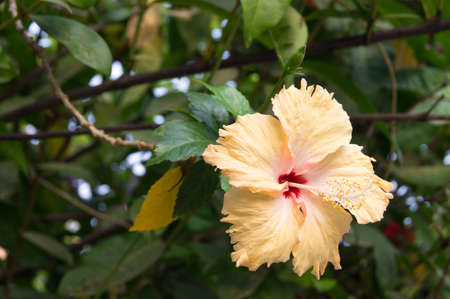 bush to grow up: Hibiscus Flower