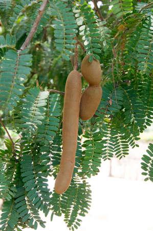 Tamarind tree and fruit on a tree