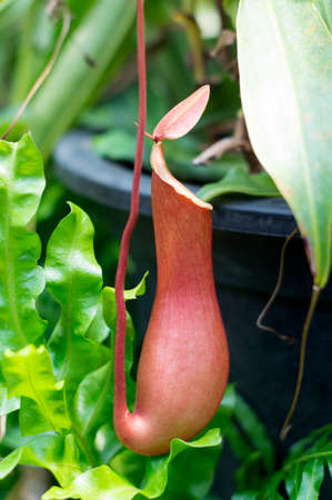 A Nepenthes on a tree photo